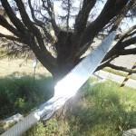 ゴールドツリーが枯れたので運動不足男子がノコギリで木を切ろうとした結果…