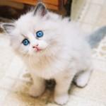 ちょいデブ猫ちゃんのティモ(ラグドール)がハンモック乗りに挑戦しているようです