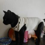 【猫の異物誤飲・誤食による手術と費用】嘔吐に注意!事故前と事故後の術後服着用時の様子