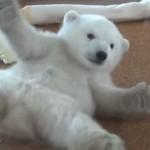 癒されまくるシロクマの赤ちゃんの動画~動物園が持つ意外な役目